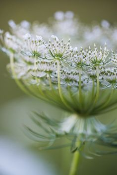 Queen Annes Lace | Shot in Madison Indiana