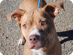 Rikki - URGENT - Calhoun County Humane Society, Inc. in Anniston, Alabama - ADOPT OR FOSTER - 1 year old Female Pit Bull Terrier Mix