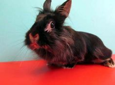 Meet adorable bun Jamiroquai! This sweet lionhead mix is waiting to meet her new family at our outreach partner, Hazel Dell Petco in Vancouver, WA.