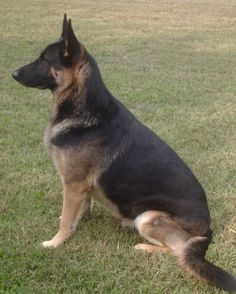 If this dog had a red collar, she would be the spitting image of our GSD Emma. <3