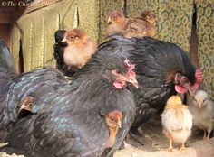 Guidelines for When to Move Chicks from Brooder to Chicken Coop