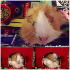 Update on Chewy the guinea pig who was suffering from impaction - a common illness in boars.