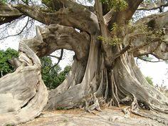 Kapok tree - Senegal