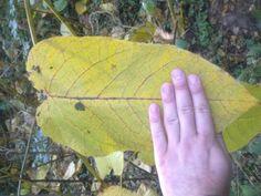 Jkweed leaf