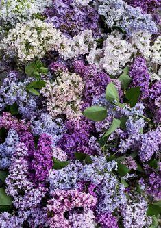 Lilac, Purple, Forest Garden, Cactus, Hibiscus, Backyard, Seasons, Green, Gardening