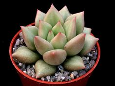 Echeveria agavoides 'Van Keppel' is a succulent plant that forms clumps of individual rosettes... #echeveria #succulentopedia #succulents #CactiAndSucculents #WorldOfSucculents #SucculentLove #SucculentPlant #SucculentPlants #succulentmania #SucculentLover #SucculentObsession #SucculentCollection #plant #plants #SucculentGarden #garden #desertplants #nature
