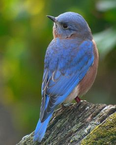 """The bluebird carries the sky on his back."" ~ Henry David Thoreau"