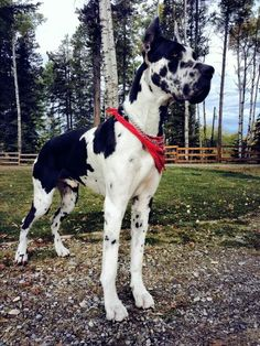 Big and handsome. Great Dane