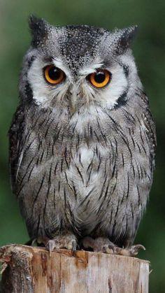 Owl Bird, Bird Art, Pet Birds, Beautiful Owl, Animals Beautiful, Cute Animals, Owl Photos, Owl Pictures, Tier Fotos