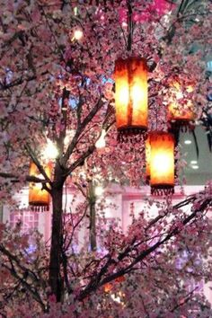 Lanterns among branches of cherry blossoms