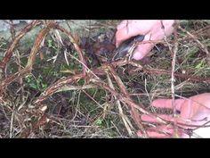 Jak przyciąć Jagodę kamczacką? #zielonepogotowie - YouTube
