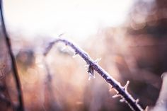 Free Image: Morning Winter Hoarfrost on a Prickly Bush | Download more on picjumbo.com!