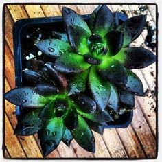 Echeveria 'Black Knight' grown by www.southeastsucculents.com in ATL, GA