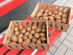 2,5 kg Frühkartoffeln in der Vorkeimkiste...