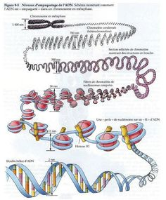 Dossier Exclusif : ADN humain et extraterrestres Exclusive File: Human DNA and Extraterrestrials Biology Art, Biology Lessons, Cell Biology, Teaching Biology, Science Biology, Science Facts, Life Science, Science And Nature, General Biology