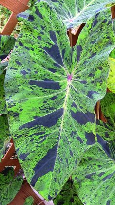 Colocasia Mojito Just love elephant ears! Beautiful Flowers, Variegated Plants, Perennial Bulbs, Colocasia, Trees To Plant, Winter Plants, Plants, Tropical Garden, Elephant Ear Plant