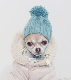 Hoy hace un frío que pela!! Abrigaos bien amigos, que hay que llegar a Nochevieja en plena forma! ☺ Buenos días!  It's freezing cold today! Stay warm friends, New Year's Eve is around the corner and we have to get there in full shape! ♥️ Good morning!  #worldofcutepets #puffwithus #pupsofinstagram  #igclubdogs  #diaesponjoso #weeklyfluff #dogmodel #chihuahuafanatics  #chihuahua  #chihuahualove_feature #sendadogphoto  #bestwoof #huffpostgram #yeshuffpost  #furrendsupclose  #to...