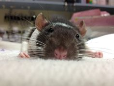 Love Rats :)