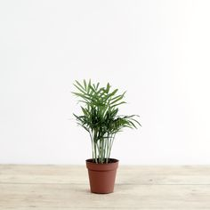 A lovely little palm with bright green arching leaves that grow from the base. Prefers bright, indirect light with occasional misting of the leaves. Keep the compost evenly moist from Spring to Autumn and only just moist in Winter. Measures approx. 25cm [Pot Diameter: 9cm] Feed throughout the Sprin