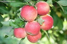 County Line Orchard Fuji Apples