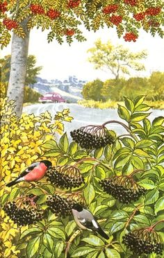 Bullfinches and elder-berries. C. F. Tunnicliffe