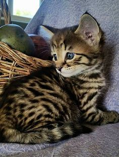 Where Can I Buy A Serval Cat In The Uk
