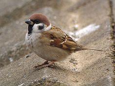 **~Tree Sparrow~** すずめ