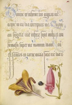 [folio 93r] Joris Hoefnagel (illuminator) [Flemish / Hungarian, 1542 - 1600], and Georg Bocskay (scribe) [Hungarian, died 1575], Cloth-of-Gold Crocus, Beetle, and Foxglove, Flemish and Hungarian, 1561 - 1562; illumination added 1591 - 1596, Watercolors, gold and silver paint, and ink on parchment, Leaf: 16.6 x 12.4 cm (6 9/16 x 4 7/8 in.), 86.MV.527.93.