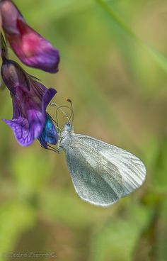 Wood White Butterfly