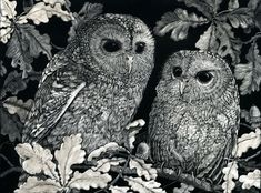 Blank Art Card Tawny Owlets in Oak Tree from Scratchboard design