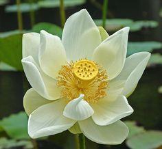white lotus flower in mauritius | Flickr - Photo Sharing!