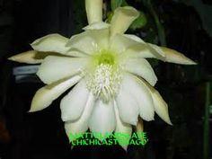 epiphyllum chi chi castenago - Yahoo Image Search Results