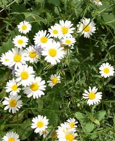 Have I mentioned I love DAISIES?  And THESE, these tiny little grass daisies are my favorite of all...