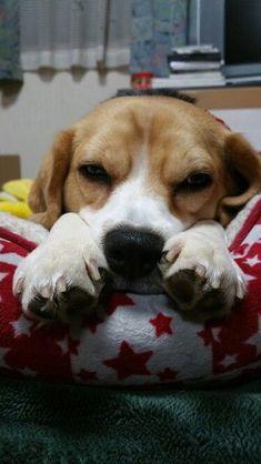 Beagle    My Baby Fuk #beagle    My Baby Fuku