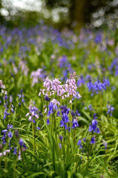 Bluebells   Flickr - Photo Sharing!