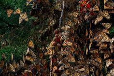 Les animaux aussi peuvent être de grands voyageurs ! Les Monarques sont des papillons tout particulièrement aventureux. A partir du mois d'août, ils entament une migration vers le sud et parcourent plus de 4 000 kilomètres pour arriver jusqu'au Mexique. Si ce trajet s'effectue sur une seule génération, il en faudra plusieurs pour retourner vers les Etats-Unis.