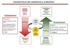 """Anabolismo y Catabolismo. Son dos fenómenos que ocurren en el metabolismo celular en el cual las sustancias simples pasan a ser complejas, y las sustancias complejas pasan a ser simples mediante un mecanismo denominado """"DIFUSIÓN""""."""