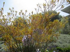 Anigozanthos Bush Gold Kangaroo paw gets a little wild and crazy in California. Combined with deep purple agapanthus and silvery sage she dances in the sun. Requires little care, but delivers as a trusty boyfriend bringing a cellophane wrapped bouquet every day in summer. Caroline Gerardo