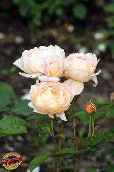 'Tamora' |  Shrub.  English Rose Collection. Bred by David C. H. Austin (United Kingdom, 1983). | Flickr - © photoproze