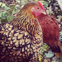 Chickens with pretty feathers