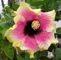 Hibiscus 'Rainbow Christie'