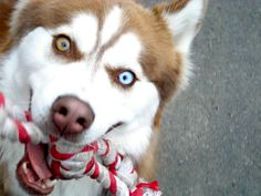 """""""Play! NOW!""""    This is my Siberian husky, Dasha. We lost her just before she turned 4, to a brain tumor. But she brought us loads of laughter in those 4 years!"""