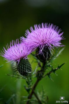 Gifts of the day. Bull Thistle in late summer. Sugarcreek MetroPark near Dayton, Ohio.