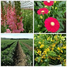 #california fields certainly are a beautiful sight! What's your favorite #cagrown #flower?
