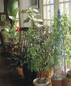 Overwintering Tender Plants by Steve Silk ~   You don't need a greenhouse to keep your favorites safe
