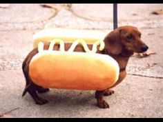 Larry definitely has a hot dog costume. But he only wears it on special occasions! Weenie Dogs, Dachshund Puppies, Dachshund Love, Dachshunds, Doggies, Hotdog Dog, Daschund, Dressed Up Dogs, Funny Dog Pictures