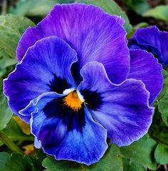 Mexican Tricolor Flower - 100 Seeds - Load image into Gallery viewer, Mexican Tricolor Flower – 100 Seeds - Amazing Flowers, Purple Flowers, Beautiful Flowers, Flowers Nature, Exotic Flowers, Yellow Roses, Pink Roses, Fleur Pansy, Flower Pictures