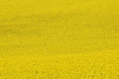 Colza Field, Plant, Seeds, Floral, Plants, Natural