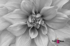 dahlia, flower, nature, black and white, photography, card, print, canvas,  (title: Never a Mistress)