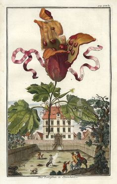 Fruit Prints from Volckamer 1708